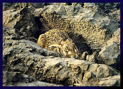 Hare in Hiding II