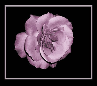 A Bare And Tender Rose