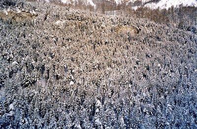 Sapins et neige