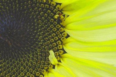 First Sun(flower)