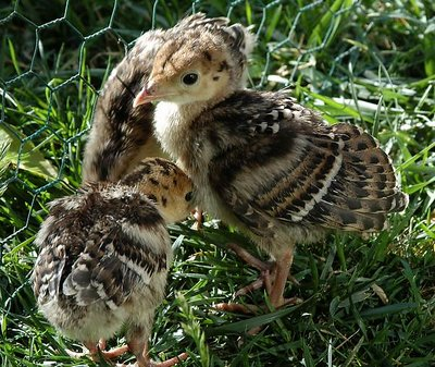 Wild Turkey Chicks (rescued)