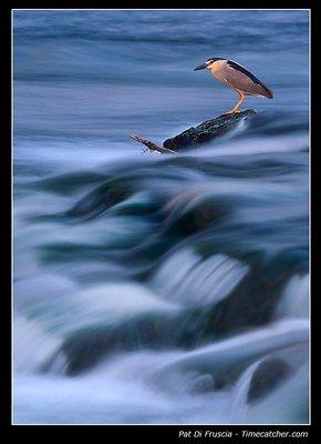 Surfin' Heron