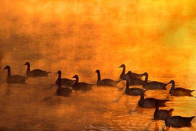 Geese at Dawn