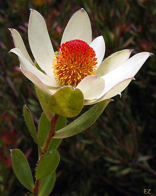 Leucadendron Procerum (1)