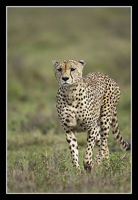 Cheetah Coming