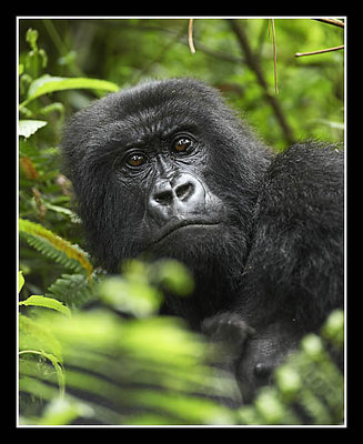 Adult Female Mountain Gorilla