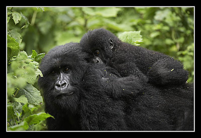 Baby Riding Mother Mountain Gorilla