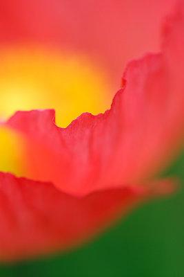 Poppy V