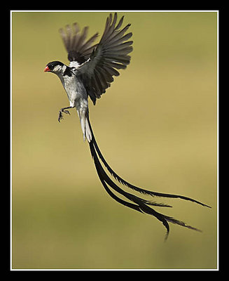 Male Pin-Tailed Whydah Hovering