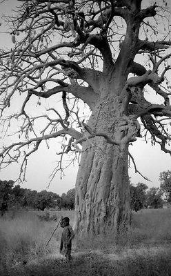 Baobab (Burkina Faso)