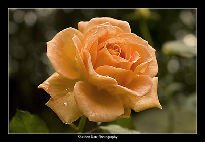 Another autumn rose