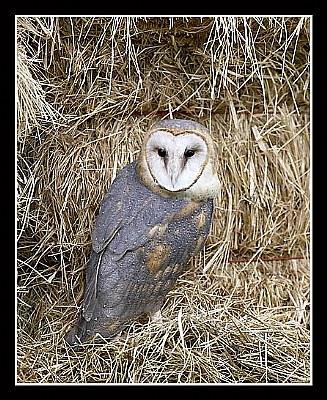 Barn Owl on Hay Bales