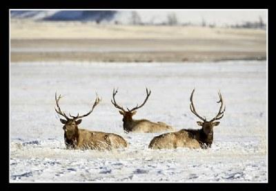 Three Bull Elk