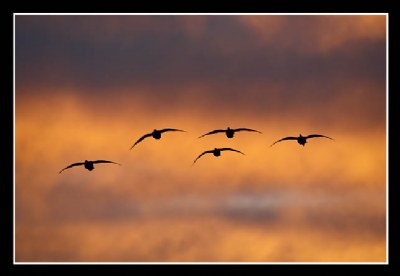 Snow Geese in Formation at Dawn