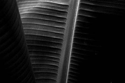 Plantain leaf 2