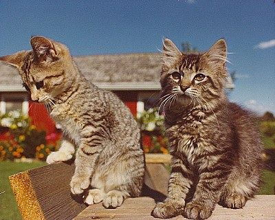 Pedigree Barn Cats