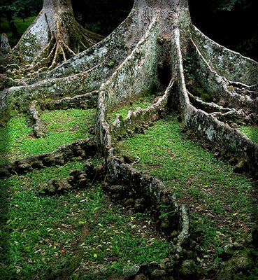 Rainforest Tree Roots