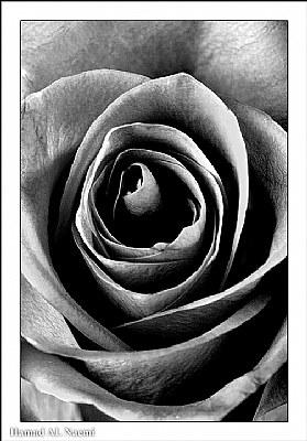 Rose's Ash