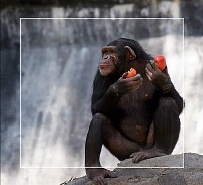 Chimp VS Killer Red Tomatoes