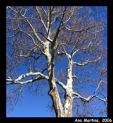 Sycamore tree against the sky