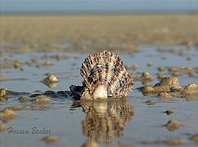 Qatar Sea_Oyster