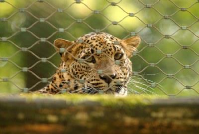 caged innocense