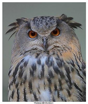 Eagle Owl /Portrait/