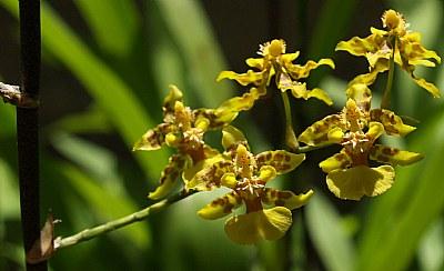 Orquidea Flor Nacional