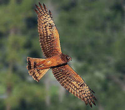 Golden Lit Harrier