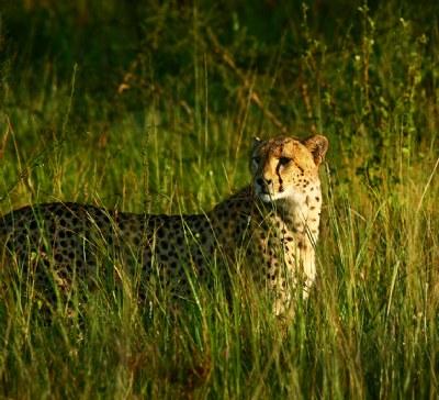[ cheetah ]