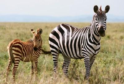 [ zebra ]