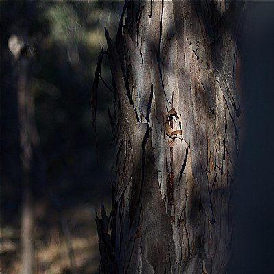 among the gum trees 2