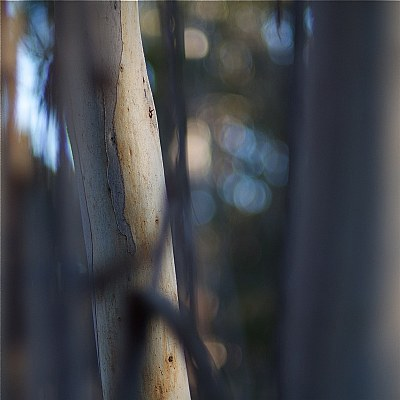 among the gum trees 3
