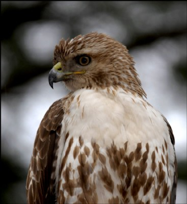 Red-Tailed Hawk (immature) II