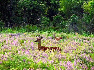 """"""" Field Of Purple Flowers With Deer """""""
