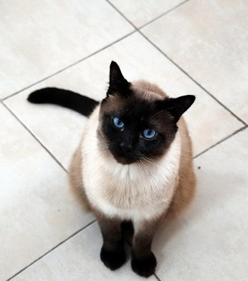 The Look Of Siamese Cat