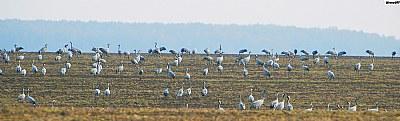 Gray Cranes (Grus Grus lat.)