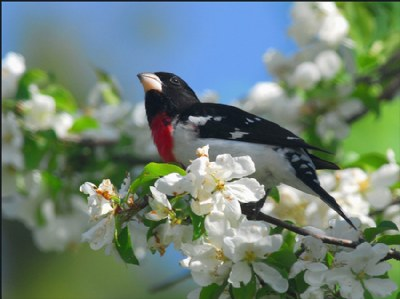 Rose Breasted Grosbeak (M)