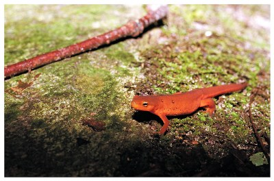 Red Spotted Newt II