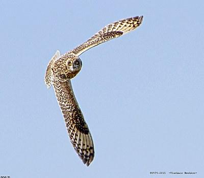 High aerobatics with Marsh Owl.