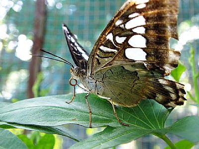 Pasig Butterfly
