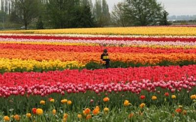Tulips! Tulips!