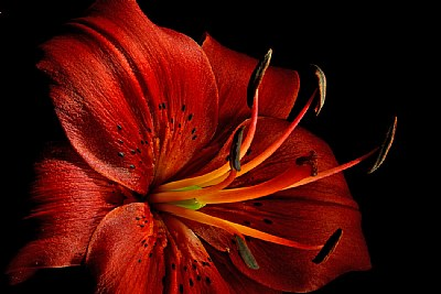 red oriental lily- close bright