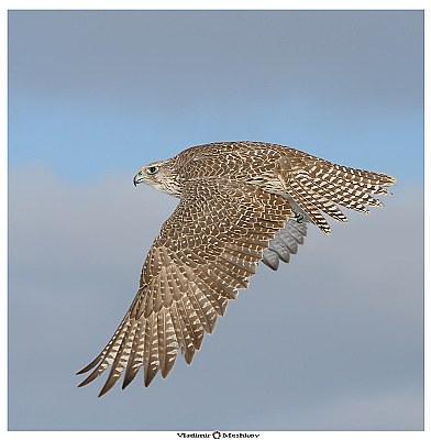 Look! Falco Rusticolus in Flight !