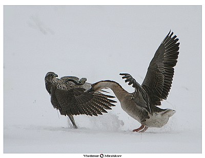 Fight of a falcon and the goose!