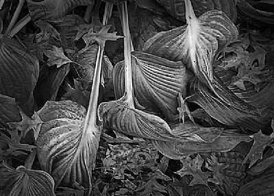 Wilted Hosta and Oak Leaves