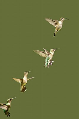 Humming Bird Collection