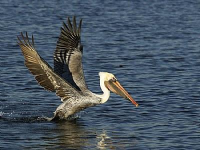 Pelican, Incoming