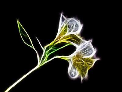 Electrified Peruvian Lily