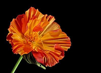 California poppy 4